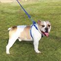 Pet Harness, Medium, Blue